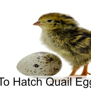How To Hatch Quail Eggs