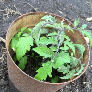 Get Your Tomato Plants Off to a Good Start