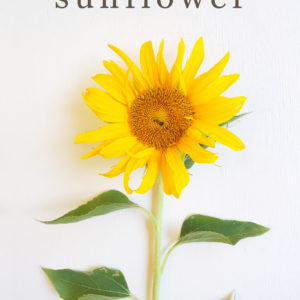 Medicinal Uses of Sunflowers