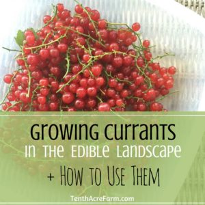 Growing Currants in the Edible Landscape + How to Use Them
