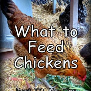 What to Feed Chickens: My Tips for Feeding Your Flock