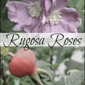 Rugosa Roses and Their Hips