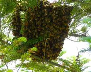 Adirondack High Peaks Honey And Bee Swarms – What To Do