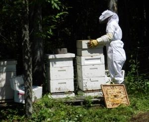 Catching A Swarm – What To Do When Your Bees Swarm (A Tutorial)
