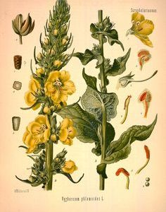 Helpful Herbs: Mullein