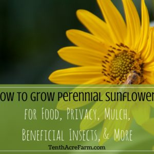 How to Grow Perennial Sunflowers for Food, Privacy, Mulch, Beneficial Insects, and More