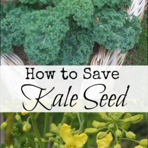 How to Save Kale Seed