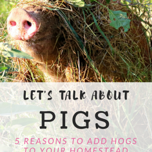 5 Reasons to Add Pigs to Your Homestead
