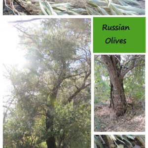 Foraging For Russian Olives