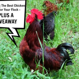 Choosing The Best Chicken Feed For Your Flock