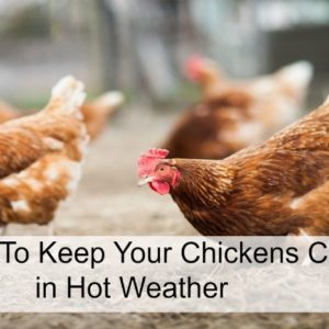 9 Ways To Keep Your Chickens Cool in Hot Weather