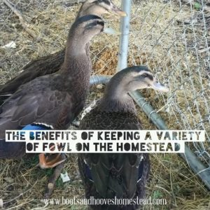 Keeping a Variety of Fowl on the Homestead