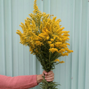 10+ Uses for Goldenrod