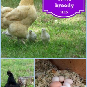 Hatching Eggs with a Broody Hen
