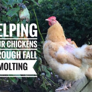 Fall Molting And How You Can Help