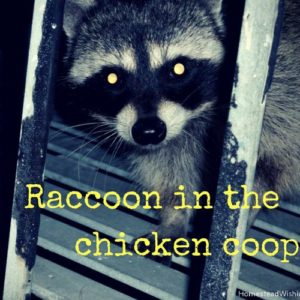 Raccoon in The Chicken Coop