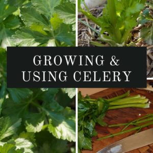 Growing and using celery