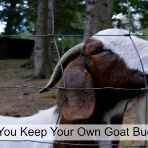 Should You Keep A Goat Buck?