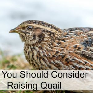 Why You Should Consider Quail