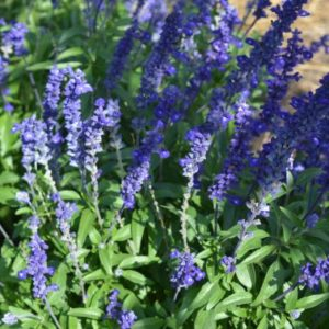 "Salvia Victoria Blue for the ""Bee"" Intentional Garden"