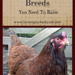 3 Rare Chicken Breeds You Need To Raise