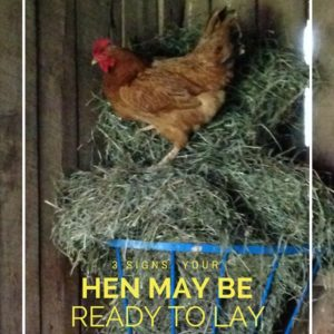 3 Ways to Tell Your Hen is Ready to Lay Eggs