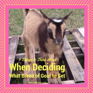 3 Factors to Use When Deciding What Goat Breed is Best For You