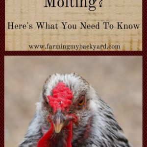 Are Your Chickens Molting?  Here's What You Need To Know.