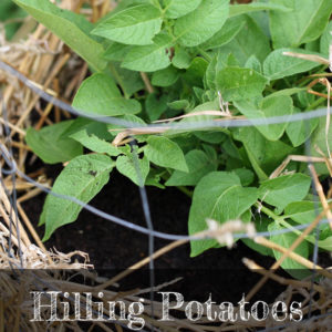 Hilling Potatoes in Towers