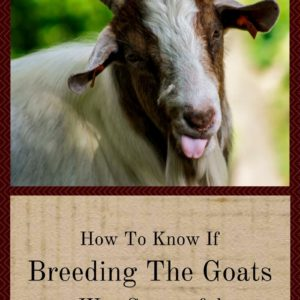 How To Know If Breeding The Goats Was Successful