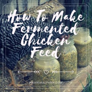 Ferment Chicken Feed in 5 Simple Steps