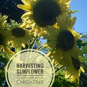 Sunflower Seeds For Your Chickens From Your Own Backyard!