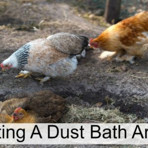 How To Create A Dust Bath Area For Your Chickens
