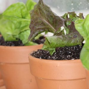 Growing Lettuce Indoors in the Winter
