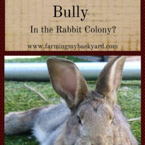 Is Your Buck a Bully In the Rabbit Colony?