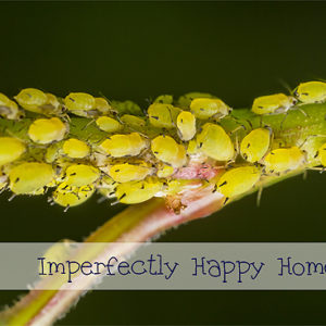 Naturally Controlling Aphids