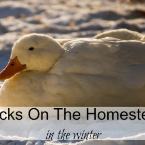 Keeping Ducks In The Winter