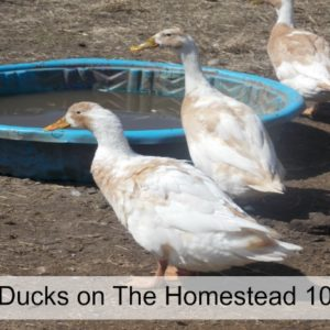 Ducks on The Homestead 101
