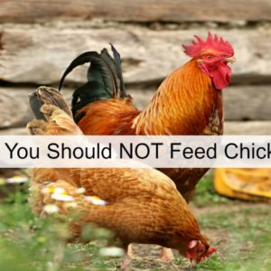 Things To NOT feed Your Chickens