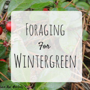 Foraging for Wintergreen