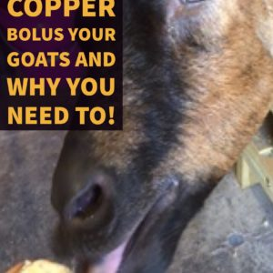 The Easiest Way To Copper Bolus Your Goats!