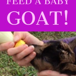 Video of How To Bottle-Feed Your Newborn Goat!