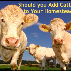 Is Cattle Right For Your Homestead?