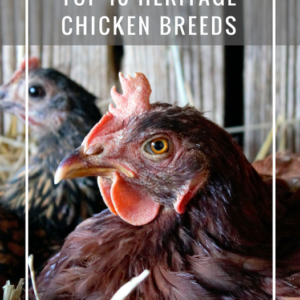 Top Heritage Chicken Breeds For The Homestead