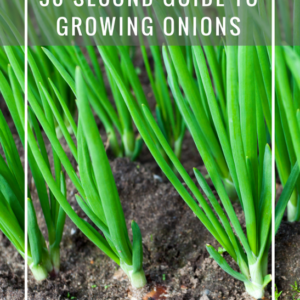 Quick and Dirty Cheat Sheet to Growing Onions
