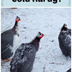 Are Guineas cold hardy?