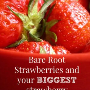 Growing Bare Root Strawberries