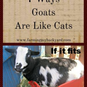 7 Ways Goats Are Like Cats