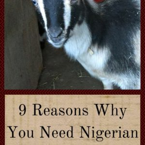 9 Reasons Why You Need Nigerian Dwarf Goats