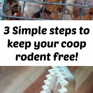 How to get ride of mice in your chicken coop or barn